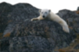 Polar Bear on Rocks