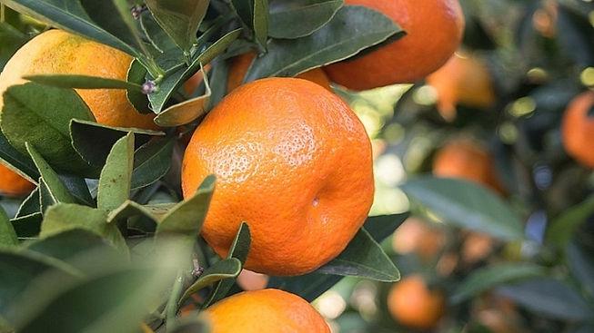 Tangerines-Sweet-Frost-800x455-720x405.j