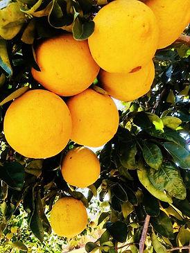 UGA Grand Frost Lemon.JPG