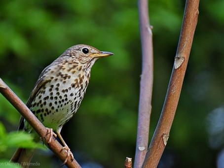 English Farm Woodland Bird Survey