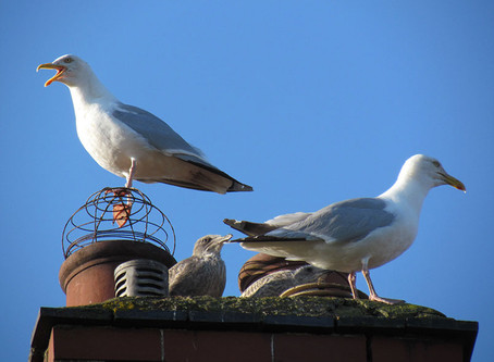 Urban Nesting Gull Survey