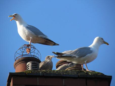 Urban Nesting Gull Survey