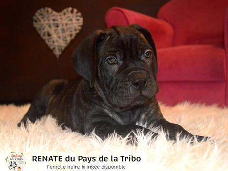 Chiot cane corso LOF disponibles - Elevage cane corso