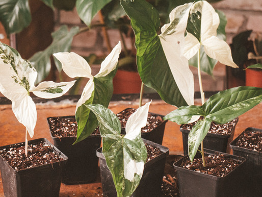 Syngonium Podophyllum Variegata szaporítás