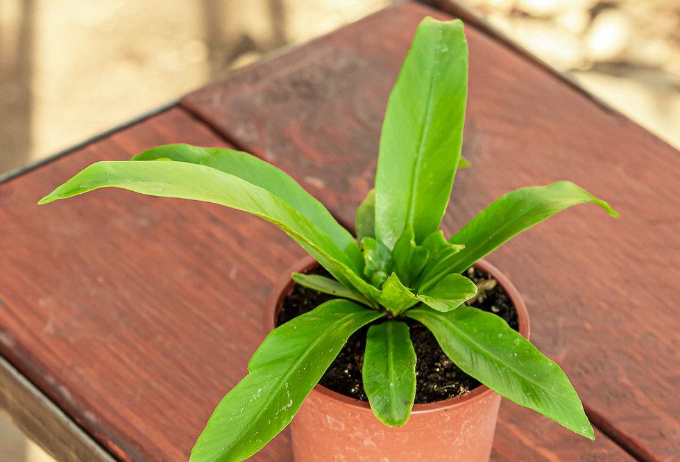 Asplenium nidus / Madárfészek páfrány