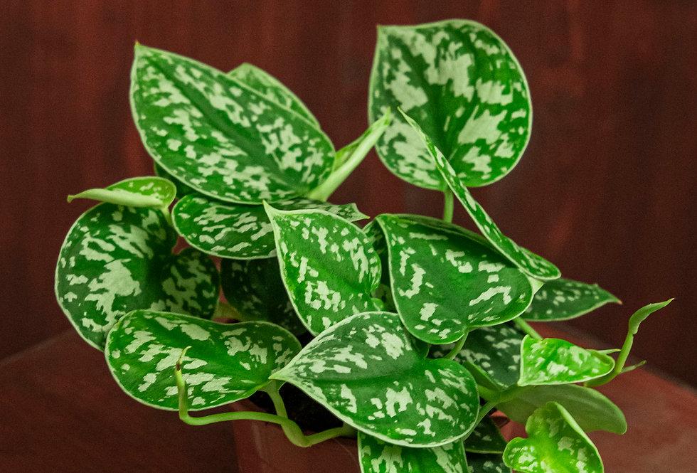 Scindapsus pictus 'argyreus'
