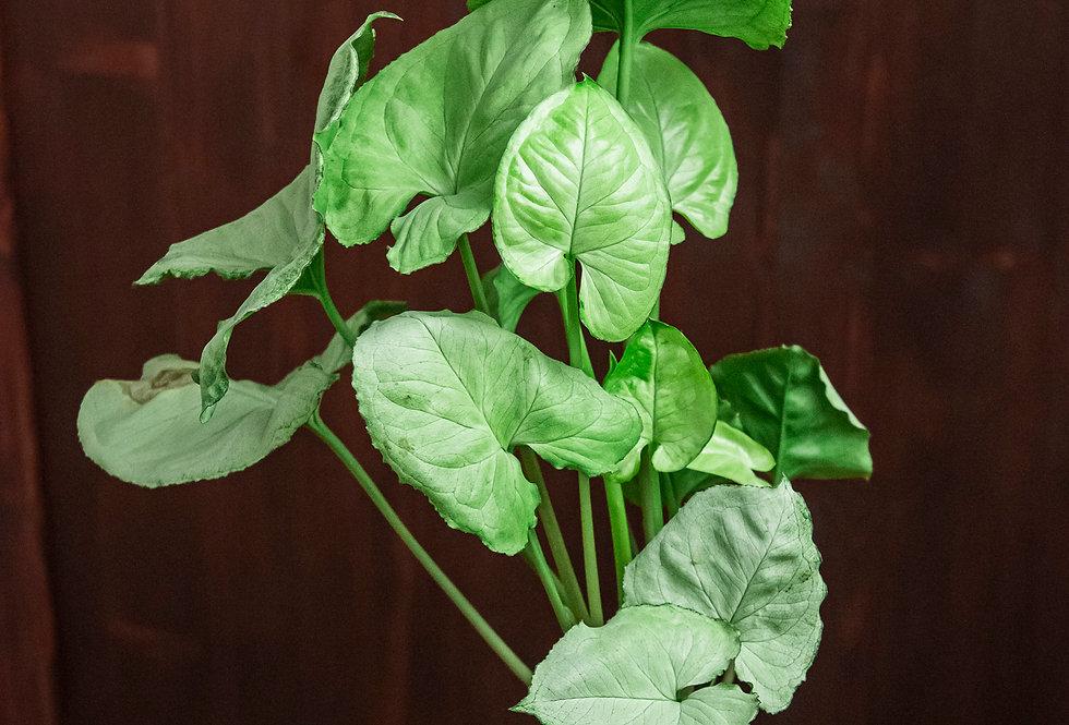 Syngonium podophyllum 'hungarian white'