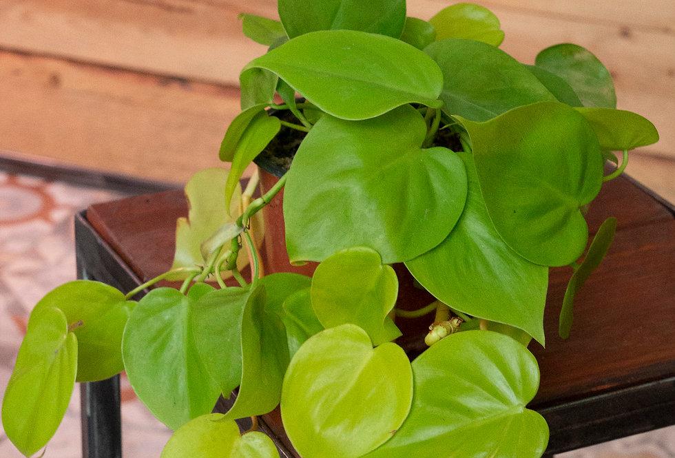 Philodendron scandens 'lemon lime'