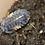 Thumbnail: Merulanella sp. Dark Knight