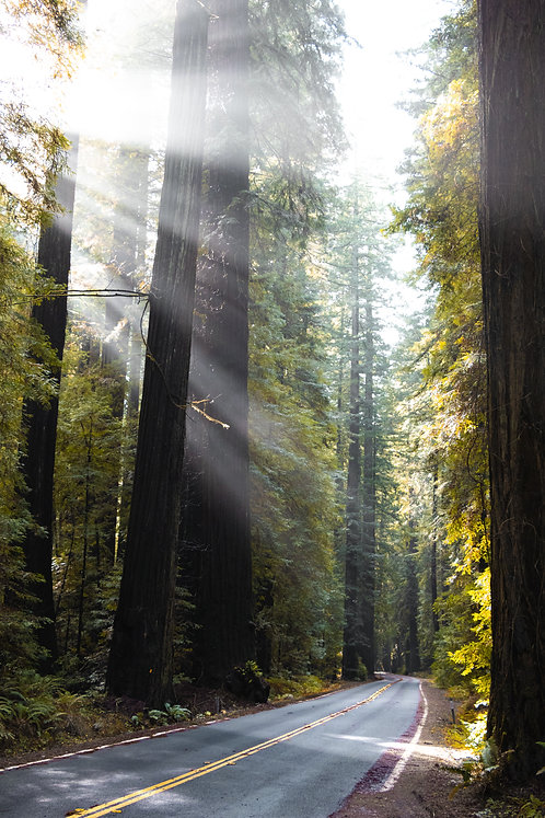 Redwoods, PNW, USA
