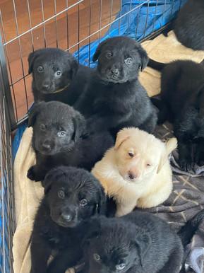 lab x german shepherd puppies for sale
