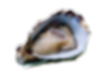 coffin-bay-oyster.png