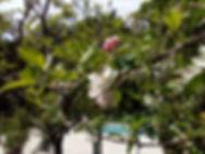 Les cerisiers en fleurs au bord de la piscine