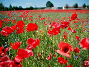 Strictly Poppies' Great War Centenary