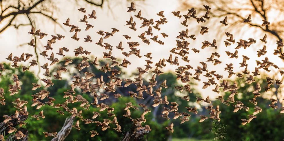Red-billed Queleas in flight