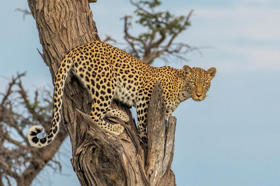 More spots in the Kalahari