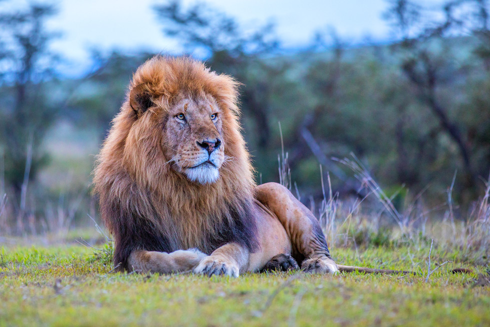 King of the jungle looking over his domain