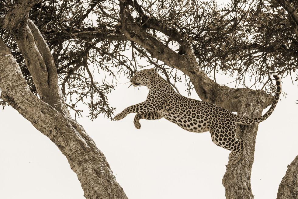Leopard jump