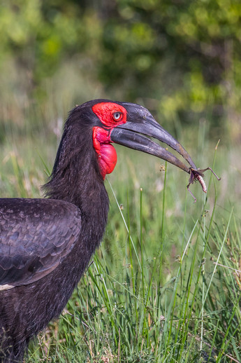 Ground Hornbill collecting insects for his chick