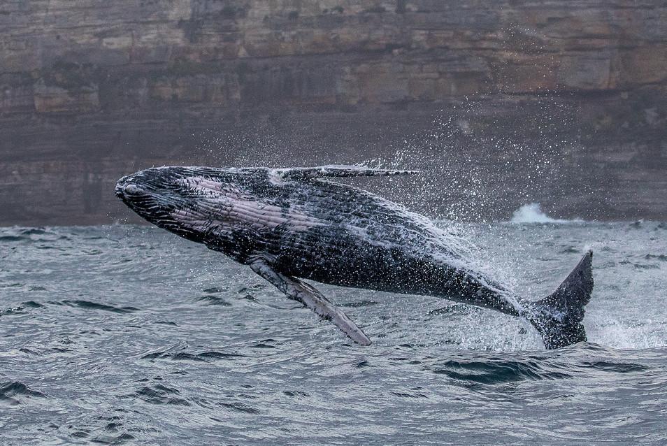 Breaching humpback whales off Sydney