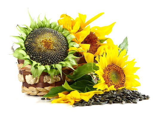 sunflower oil ukraine, cooking oil, sunflower seeds, goldensun, cooking oil, pure refined sunflower oil, vegetable oil, sunflower oil, crude sunflower oil, extraction sunflower oil, pressing sunflower oil, sunflower seeds oil, refined deodorized sunflower oil, corn oil, canola oil, gulfood, bestfood, non gmo, free cholesterol, iso product, halal oil, kosher foods, ukraine factory sunflower oil, exporters ukraine, ukraine sunflower oil, best foods, qatar sunflower oil