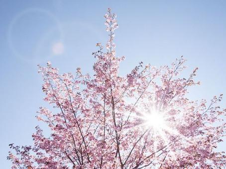 桜とジェラートと貧血と。