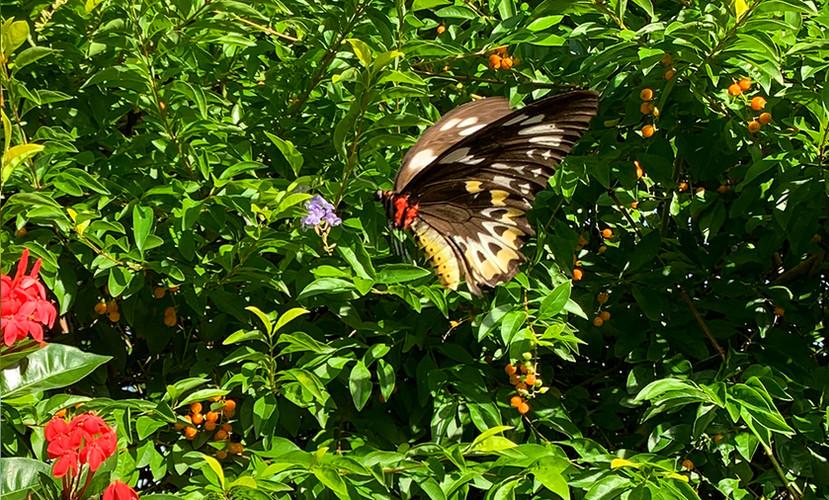 BIRDWING BUTTERFLY.jpg