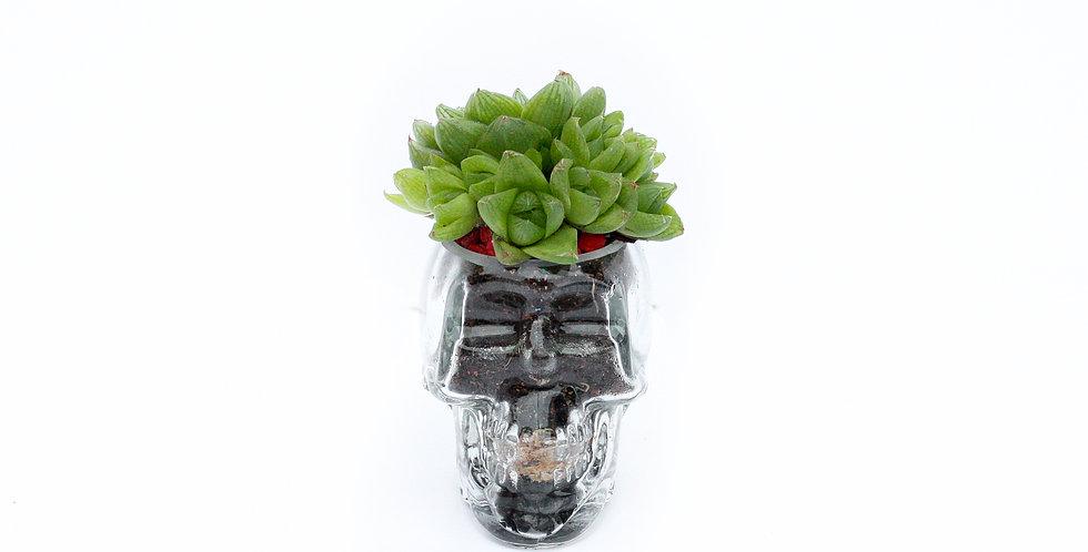 wenderplant, wenderplant terrarium, sydney terrarium, succulent terrarium, skull terrarium,