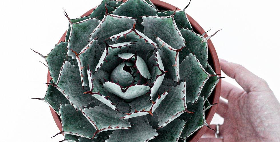 wenderplant succulent, rare succulent, sydney succulent, wender plant