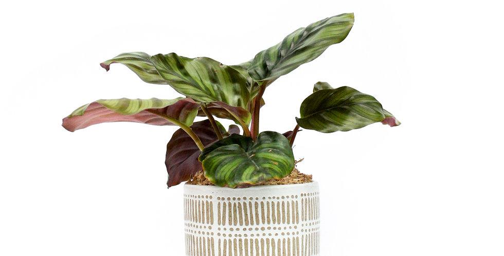 wender plant pot plant