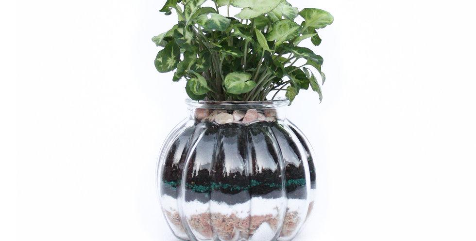 Lil Pumpkin Pot Plant