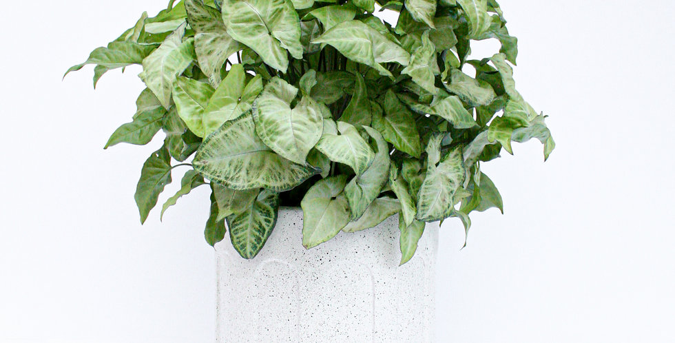 wenderplant, potplant, indoorplant, whitearchpot,