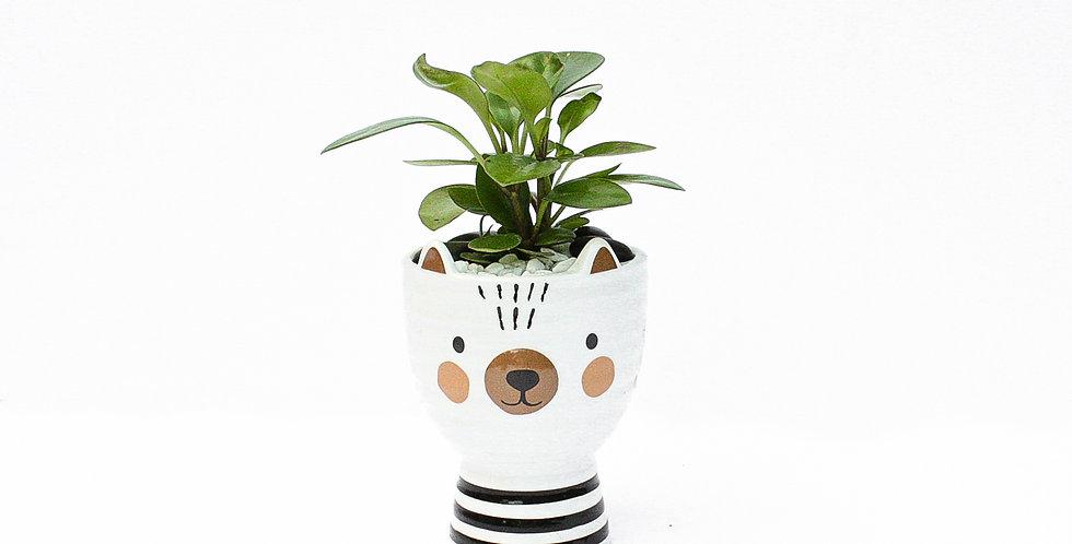 Little Bear Pot Plant