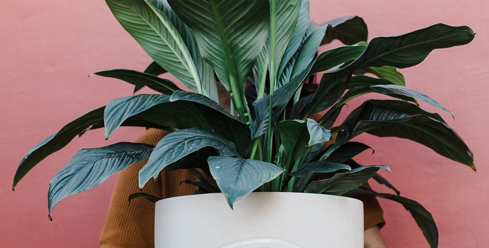 Peace Lily with Rainbow Planter