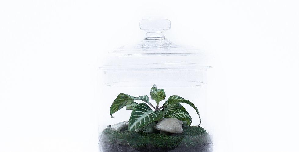 Biscuit Jar Terrarium