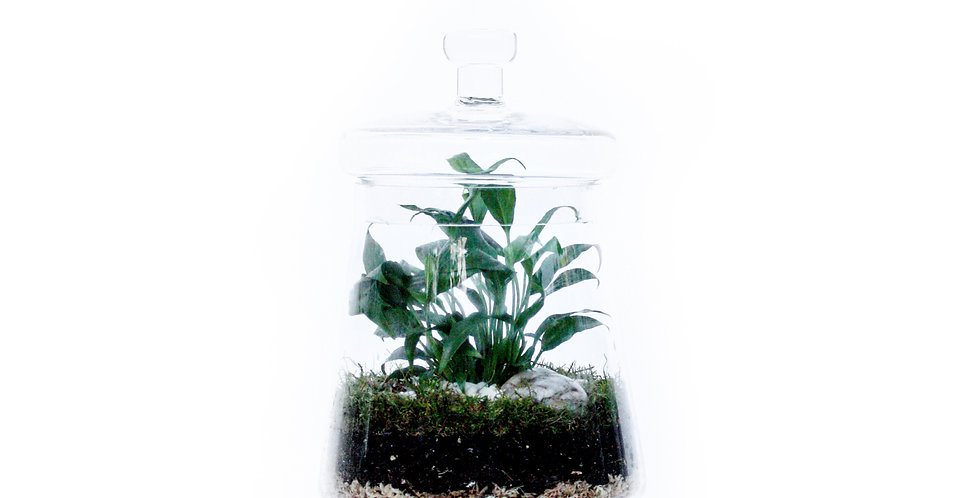 wenderplant terrarium, sydneyterrarium, terrariumsydney,