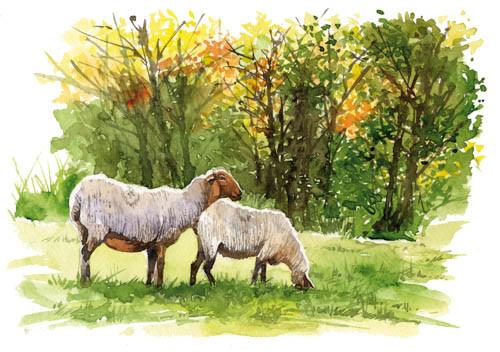 Moutons à La Palud