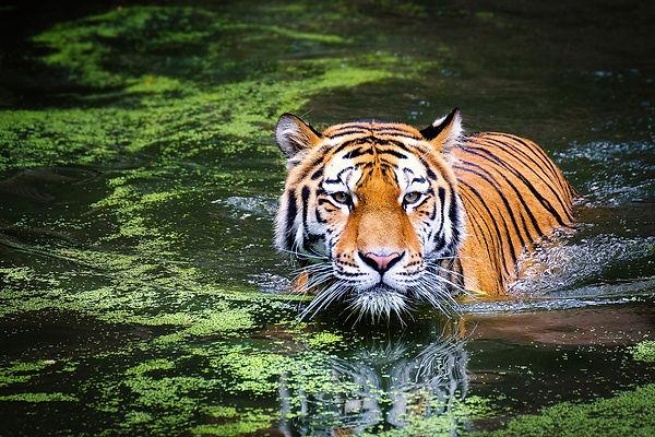 Tiger_Trad&Corp.jpg