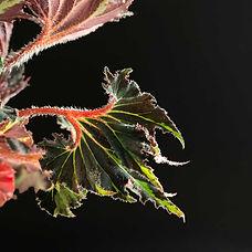 begonia-breakdance-Hersteld.jpg
