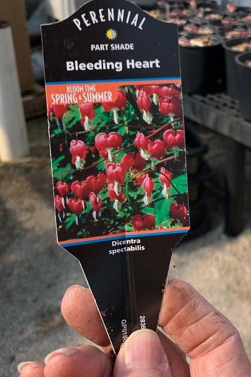 Bleeding Heart Spectabilis