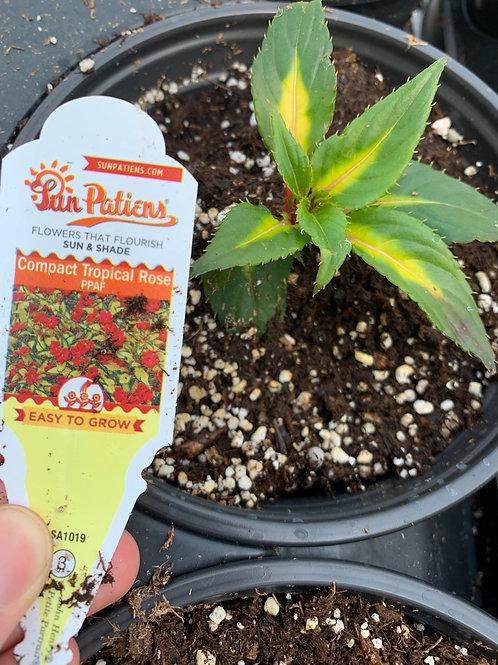 Compact Tropical Rose Begonia
