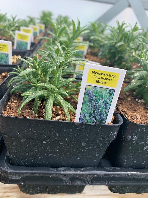 Rosemary 'Tuscan Blue' Herb