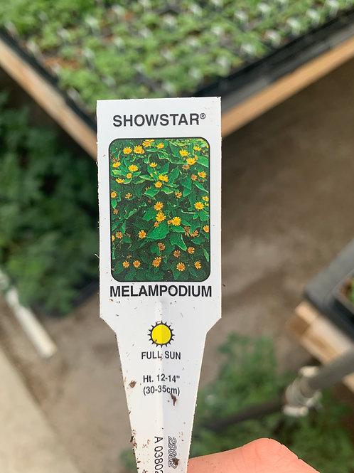 Melampodium