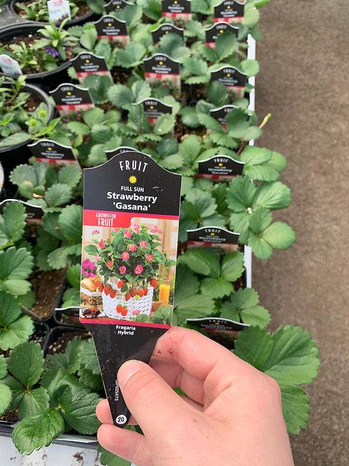 Strawberry Gasana Fragaria