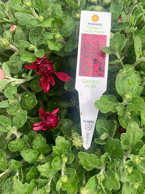 Vitamum Lucky Purple Garden Mum