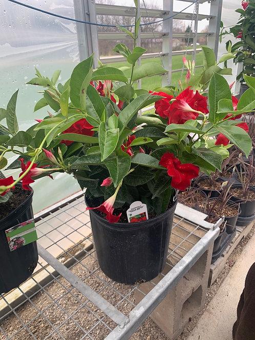 Mandevilla Crimson Red Bush