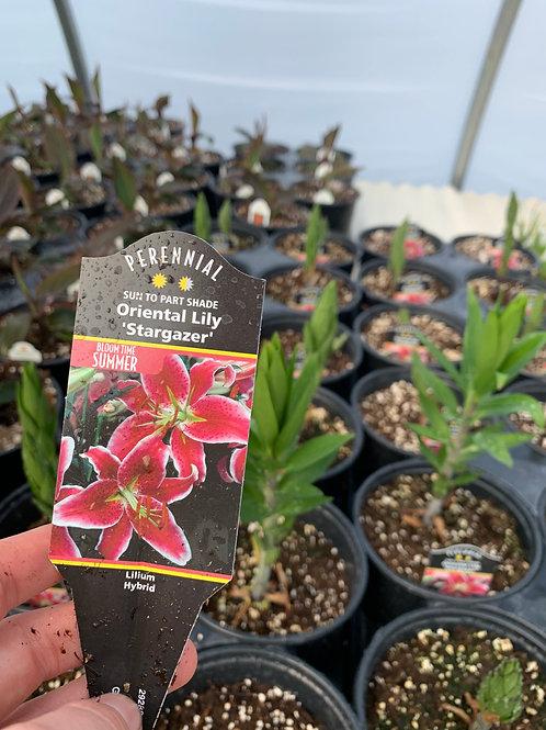Oriental Lily Stargazer