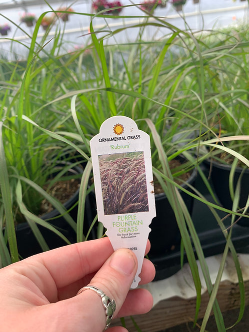 Rubrum Ornamental Grass