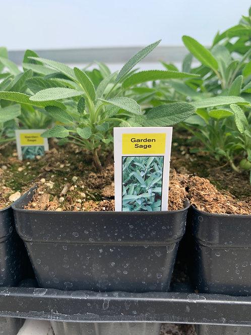 Garden Sage Herb