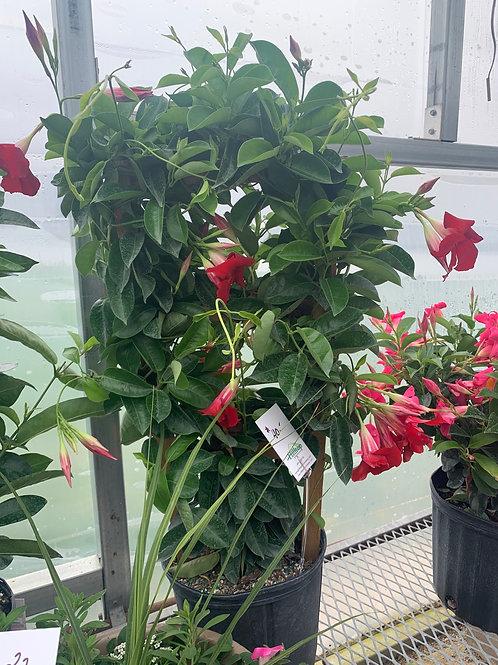 Mandevilla Crimson Red Trellis